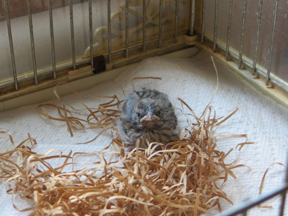 rescued_songbird_10