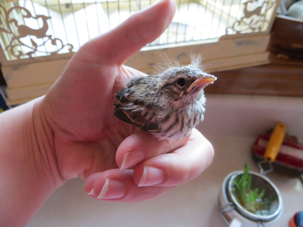 rescued_songbird_12