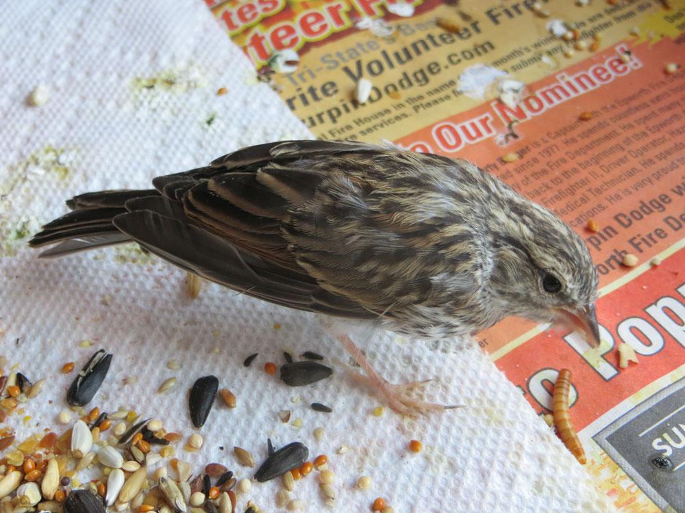 rescued_songbird_19