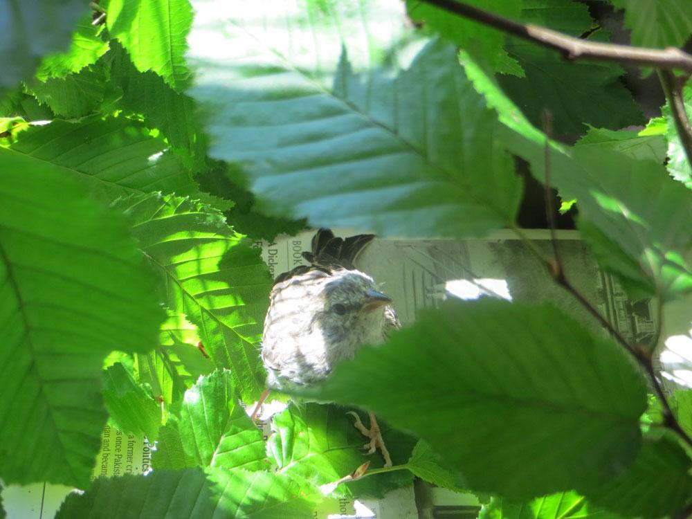 rescued_songbird_20