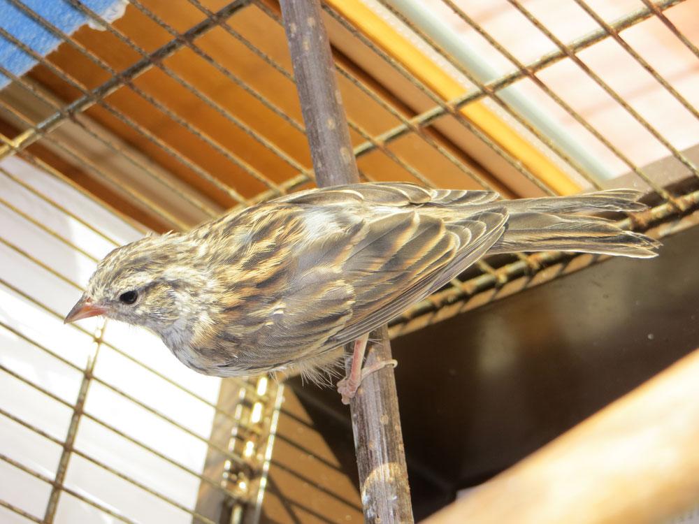 rescued_songbird_21