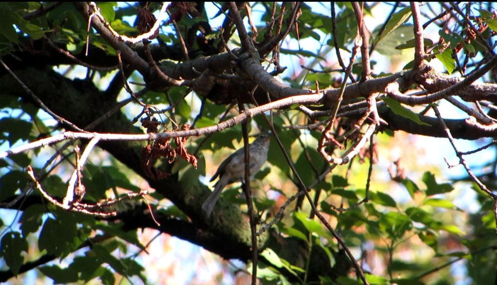 rescued_songbird_23
