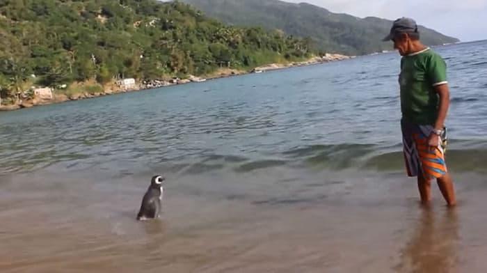 Un_pingüino_nada_8,000_kilómetros-03