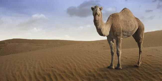 Un-camello-le-arrancó-la-cabeza_01