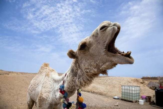 Un-camello-le-arrancó-la-cabeza_02