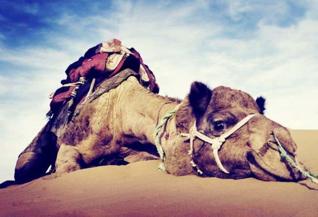 Un-camello-le-arrancó-la-cabeza_03