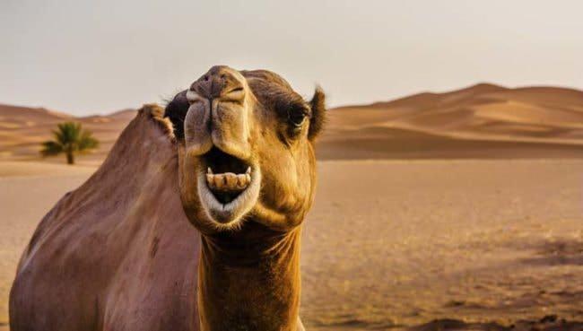 Un-camello-le-arrancó-la-cabeza_04